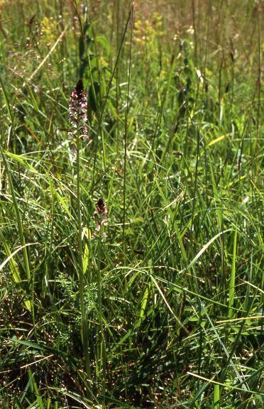 Orchis ustulata subsp. aestivalis - Vandoncourt (25) - Orchis brûlé d'été - 28/06/02