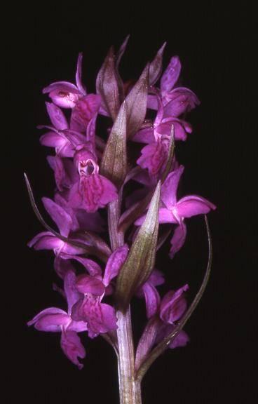 Dactylorhiza majalis -  Orchis de mai - Riervescemont  (90) - 7/05/00