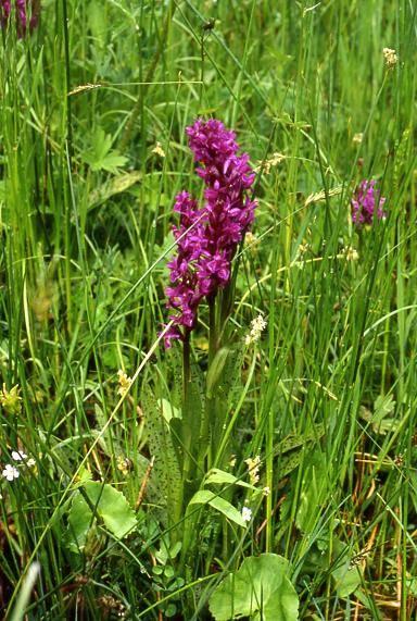 Dactylorhiza majalis - Riervescemont (90) - Orchis de mai - 24/05/01