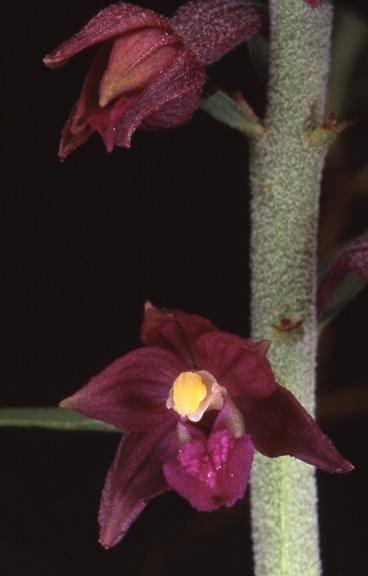 Epipactis atrorubens - Bonnevaux (25) - Epipactis pourpre noirâtre - 3/07/02