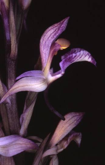 Limodorum abortivum - Bois du Rouquan (83) - Limodore à feuilles avortées