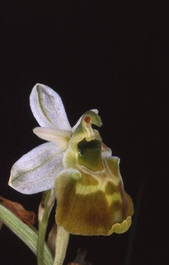 Ophrys fuciflora var. flavescens - Bollenberg (68) - Ophrys bourdon - 31/05/01
