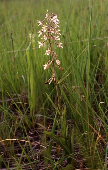 Epipactis palustris - Bessoncourt (90) - Epipactis (ou helleborine) des marais - 25/06/00