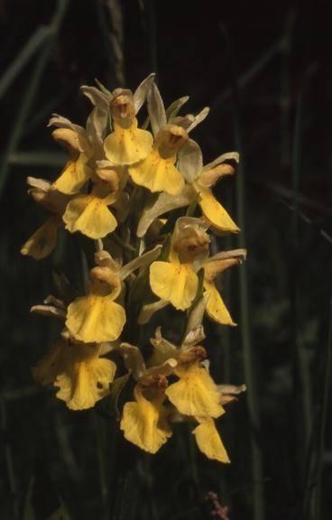 Dactylorhiza sambucina - Les Molunes (39) - Orchis sureau - 2/06/01