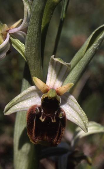 Ophrys fuciflora - Bollenberg (68) - Ophrys bourdon - 20/05/01