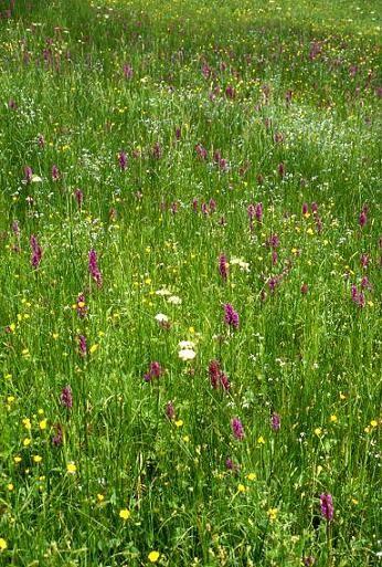 Dactylorhiza majalis -  Orchis de mai - Riervescemont  (90) - 24/05/01