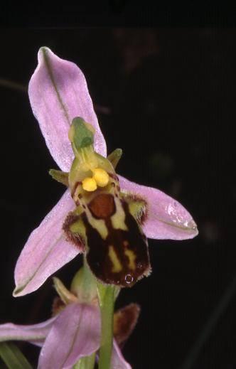 Ophrys apifera lusus trollii - Dasle (25) - Ophrys abeille - 6/06/99