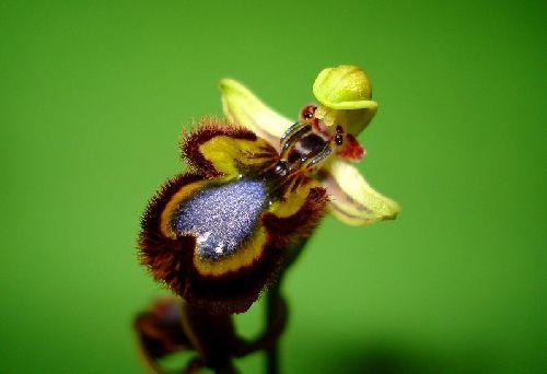 Ophrys ciliata (ou speculum) - Algarve (Portugal) - Ophrys miroir - 2/04/02