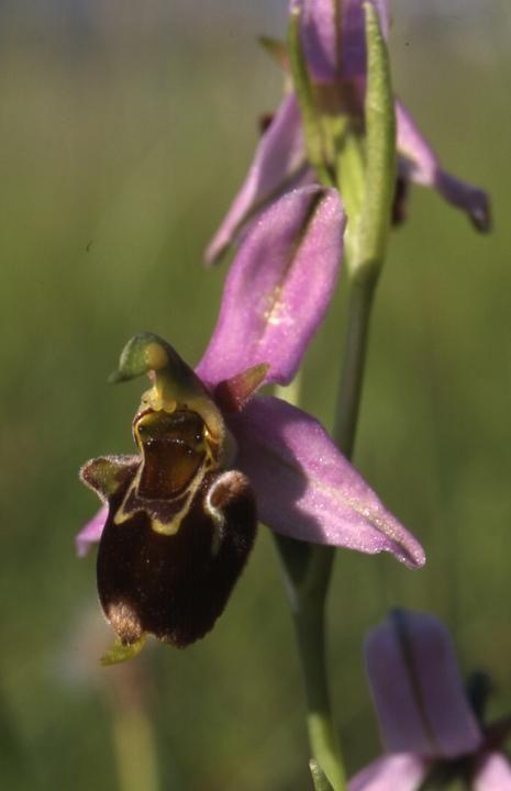Ophrys apifera x fuciflora - Sabot de Frotey - 30/05/01