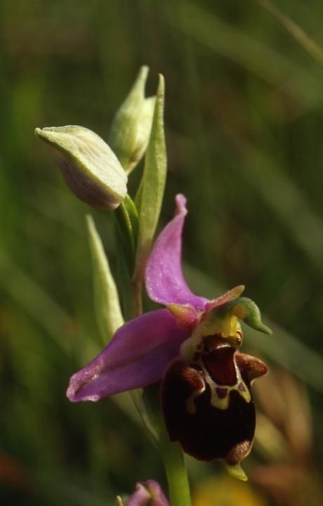 Ophrys apifera x fuciflora - Sabot de Frotey (70) - 24/05/01