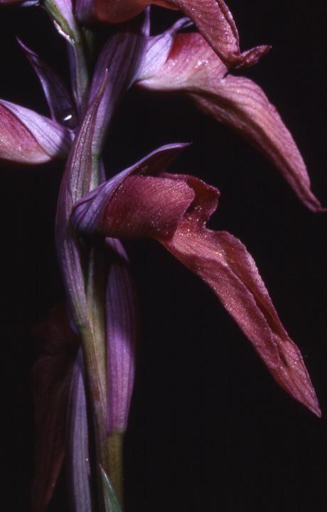 Serapias neglecta x vomeracea - La Croix Valmer (83) - 24/04/99
