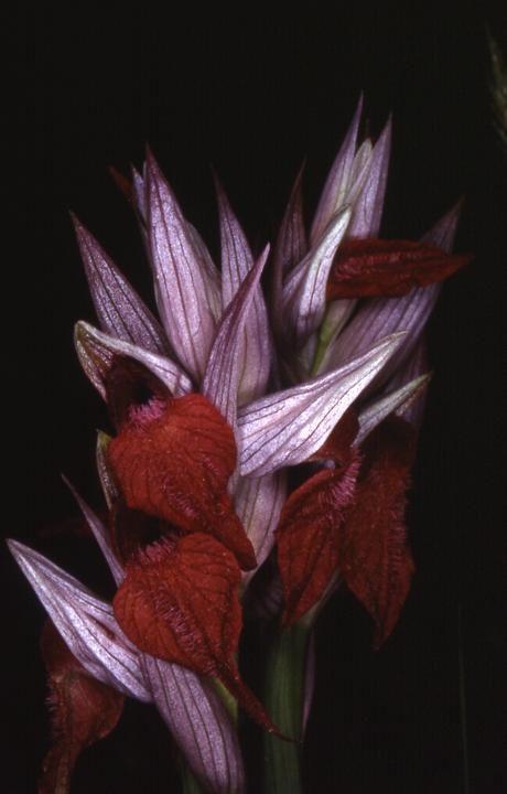 Serapias cordigera x vomeracea - La Croix Valmer (83) - 10/05/03