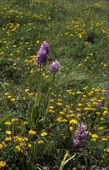 Orchis militaris x simia - Crussol (07) - 8/05/03