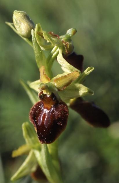 Ophrys sphegodes - Taubergiessen (Allemagne) - Ophrys araignée - 3/05/03