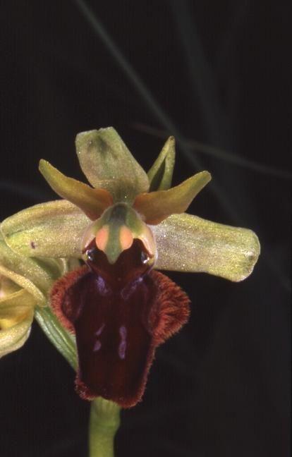 Ophrys sphegodes - Doucier (39) - Ophrys araignée - 3/06/01