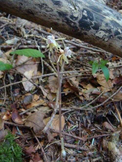 Epipogium aphyllum - Lepuix (90) - Epipogon sans feuilles - 25/07/08