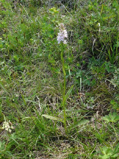 x Pseudorhiza bruniana - environs du Markstein (88) - 19/06/08