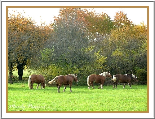 Chevaux Comtois (automne 2009)