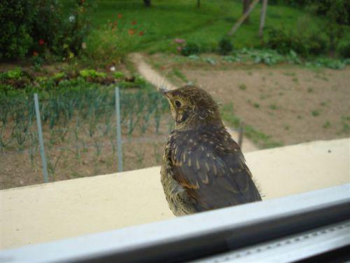 oiseau pris de la fenêtre du salon de Maminou
