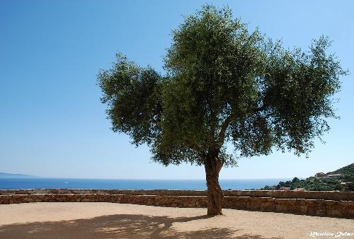 L'arbre du Parvis (Cargèse)