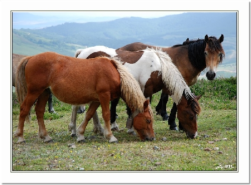 Chevaux cantabres