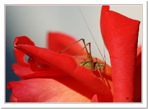 La sauterelle et la rose