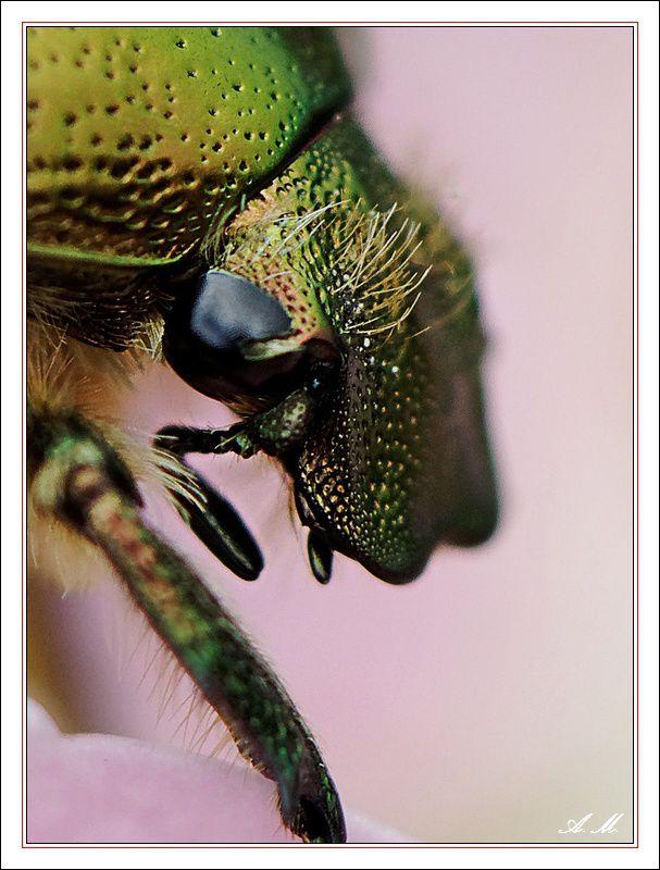Tête de scarabée