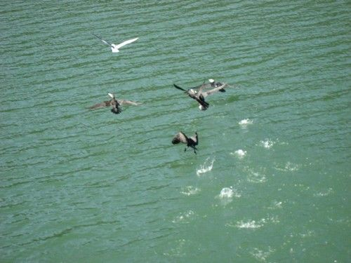 Envol de cormorans qui n'apprécient pas les visiteurs...
