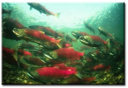 saumon rouge d'alaska