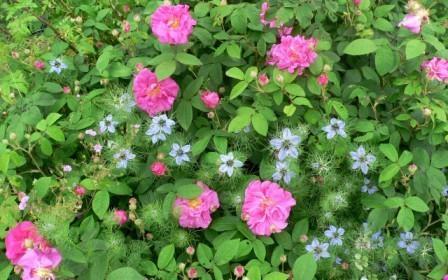 Rose de Provins et nigelle de Damas