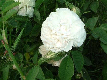 Une belle rose alba