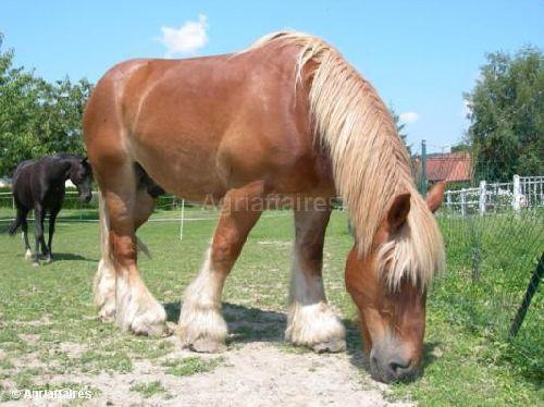 Un cheval de trait