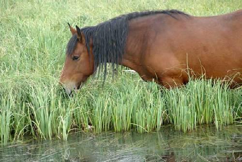 Un cheval bai