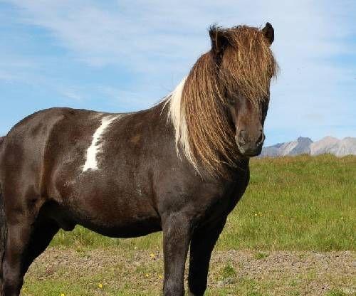 Un poney pie