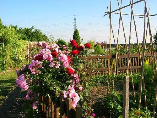 Palissade de roses - Mon jardin.