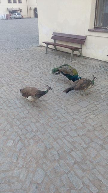 les paons à Pardubice, des gros pigeons ^^