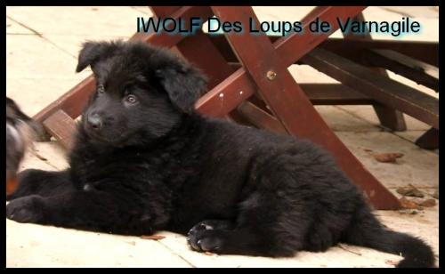 iwolf.jpg