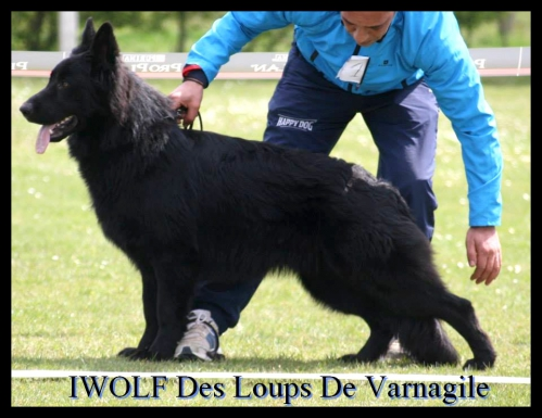 iwolf19.jpg
