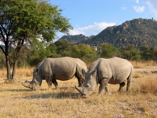 2-Rhinoceroces-savane-sud-africaine-[1].jpg