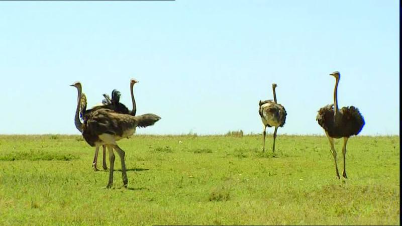 376974397-autruche-d'afrique-savane-kenya-groupe-d'animaux[1].jpg