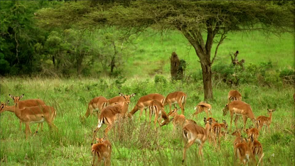 378633084-nyala-impala-gazelle-troupeau.jpg