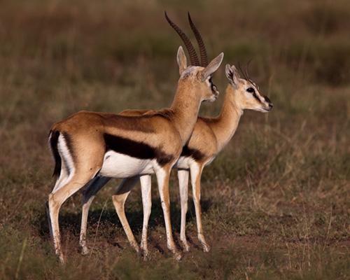 Gazelle_Thomsons_Masai_Mara-11.jpg
