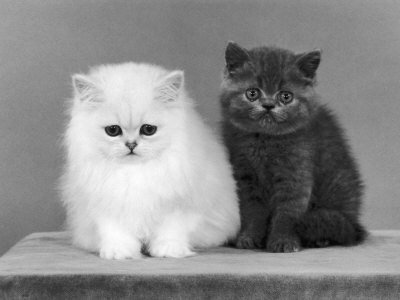 black-and-white-cat-cats-cute-Favim.com-430094.jpg