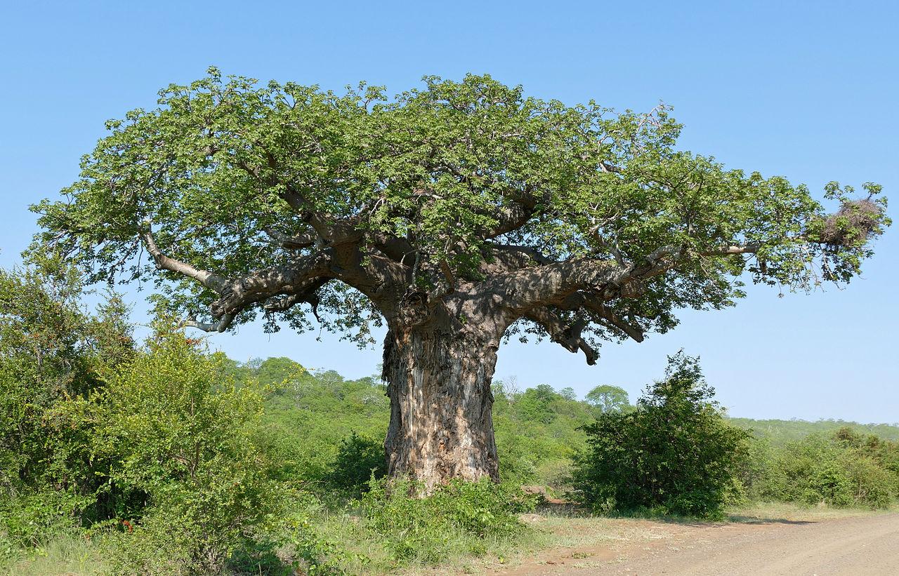 Von_Wielligh's_Baobab_(Adansonia_digitata)_(17104905557).jpg