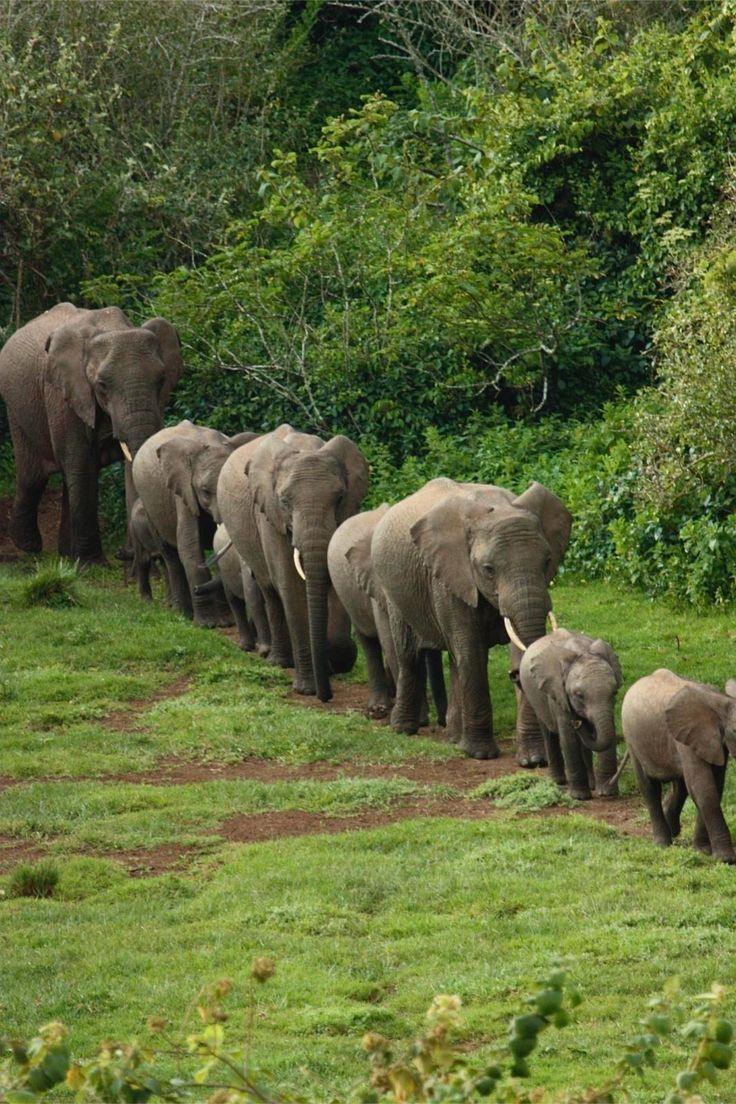 8183a6d2044f6f1fd4ece0b4cf9f37f1--elephant-walk-elephant-love.jpg