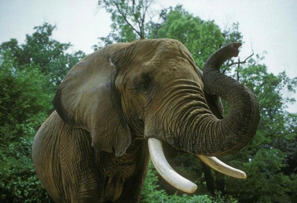 img_combien_pese_un_elephant_1008_paso_2_600.jpg