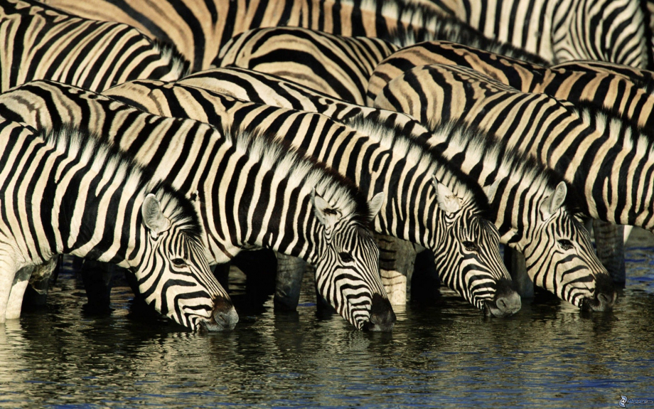 zebras-drink-from-river-water-174068.jpg