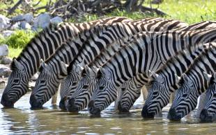 Zebras-Drinking--Africa-Overland-Safaris--Africa-Lodge-Safaris--Africa-Tours--On-The-Go-Tours-228221391179700_crop_310_195.jpg