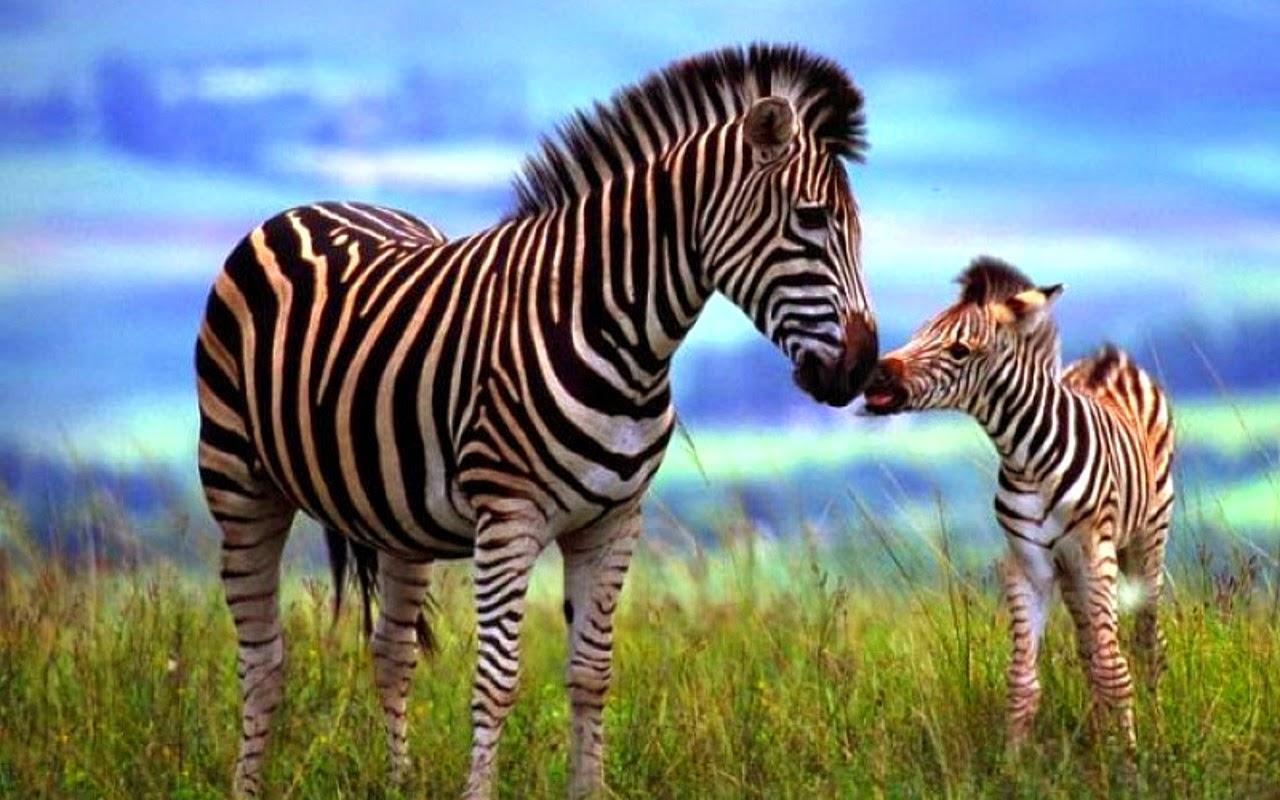 zebras-images-6.jpg