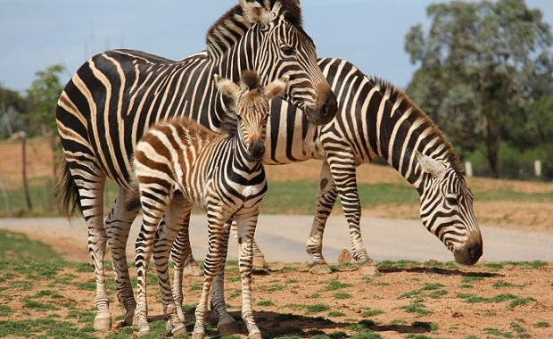 Zebra-foal-web-620.jpg